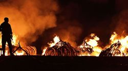 케냐 정부가 약 105톤의 코끼리 상아를 불태웠다
