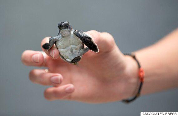 멸종위기종 보호법의 가장 귀여운 성공 사례를