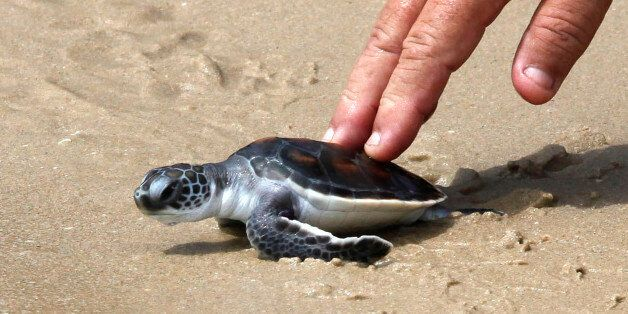 A man releases a Hawksbill turtle into the sea at the Sea Turtle Conservation Center of the Royal Thai...