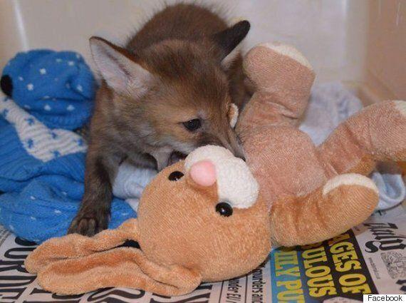 새끼 여우와 토끼 인형의 사랑스런 우정