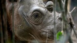 40년 만에 나타난 보르네오 섬의 코뿔소가