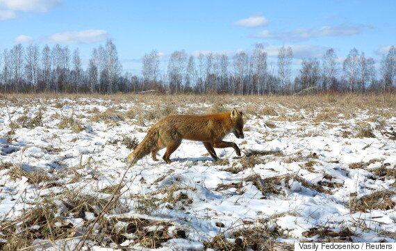 사람이 사라진 체르노빌 원전은 지금 야생동물의