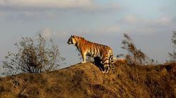 세계적으로 야생 호랑이의 숫자가