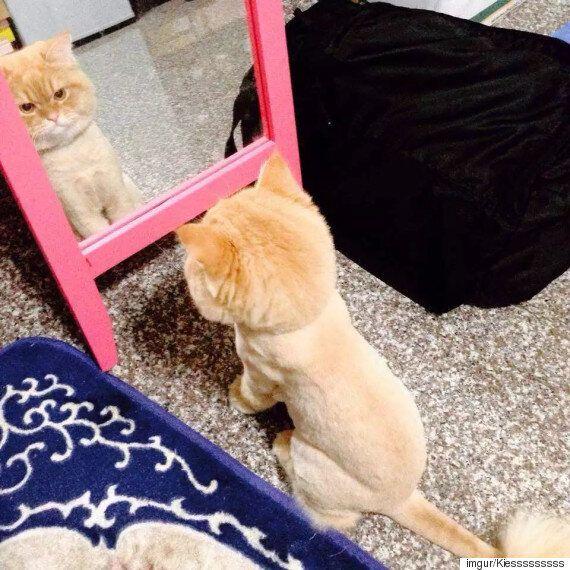 고양이는 자신의 새 헤어스타일이 당황스럽다(사진