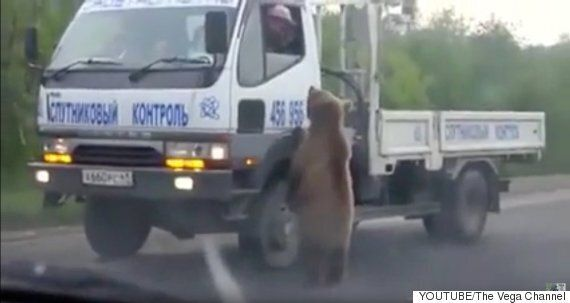 러시아 고속도로에 통행료를 받는 곰이