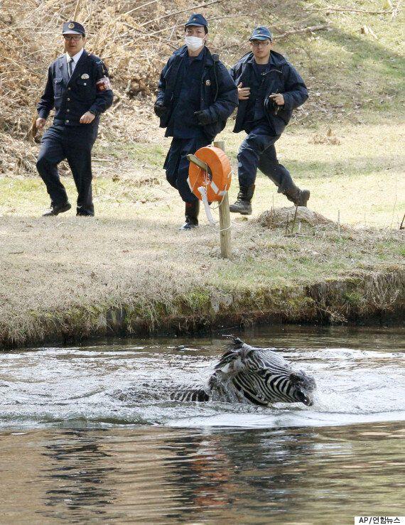 일본의 어느 승마클럽에서 탈출한 얼룩말의 죽음(사진,