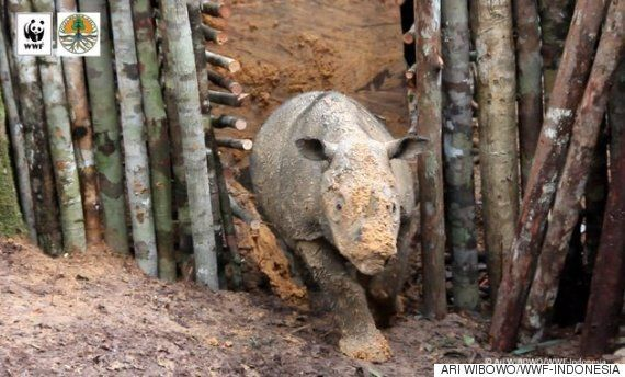 멸종 직전의 수마트라 코뿔소가 40년 만에 인도네시아 보르네오 섬에서