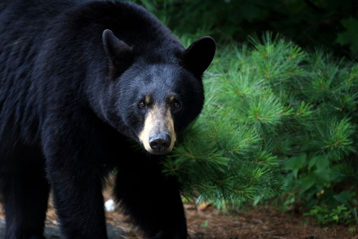 Experts say many bear attacks on humans begin with confrontations with dogs.