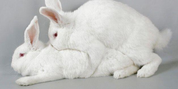 토끼 수컷 피임에 성공했다. 다음은 인간