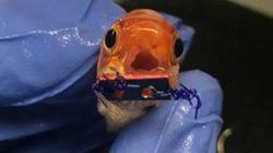 세계 최초로 턱뼈 교정을 받은 금붕어 '핫윙' 씨의