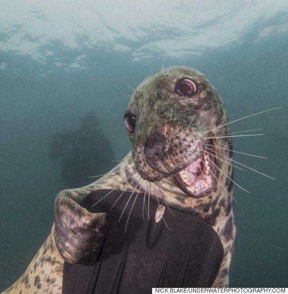 다이버를 보고 웃는 물개가 수중사진 콘테스트에서 수상했다(화보