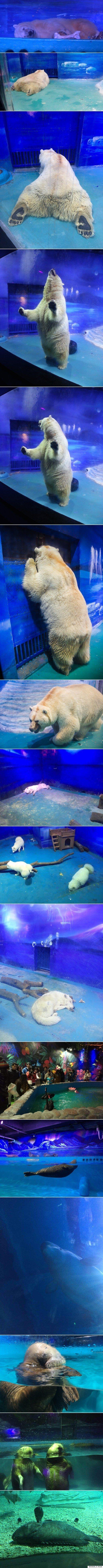 이 북극곰은 매일, 온종일 관람객들의 셀카에 찍히며 최악의 조건에서 사육된다(사진,