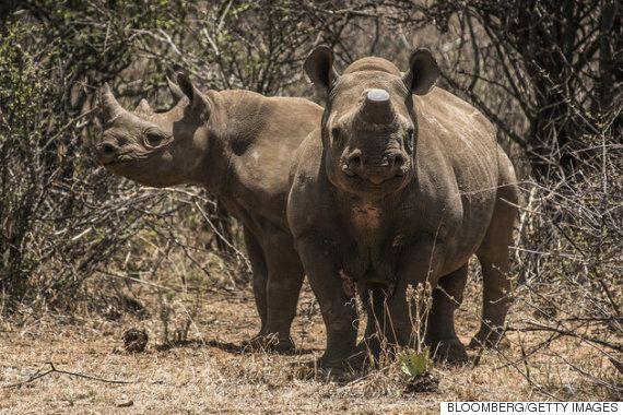 아프리카 코뿔소가 10년 안에 멸종될 수 있다고 전문가들은