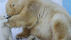 엄마와 아기 북극곰이 눈밭에서 함께 노는 풍경(사진,