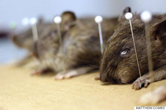 정말 무시무시하다. 뉴욕의 쥐가 얼마나 커질 수 있는지 과학자들이