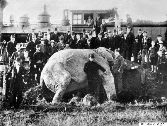 술취한 코끼리가 열차에 치여 죽었다: 영화와는 달랐던 코끼리 '덤보'의