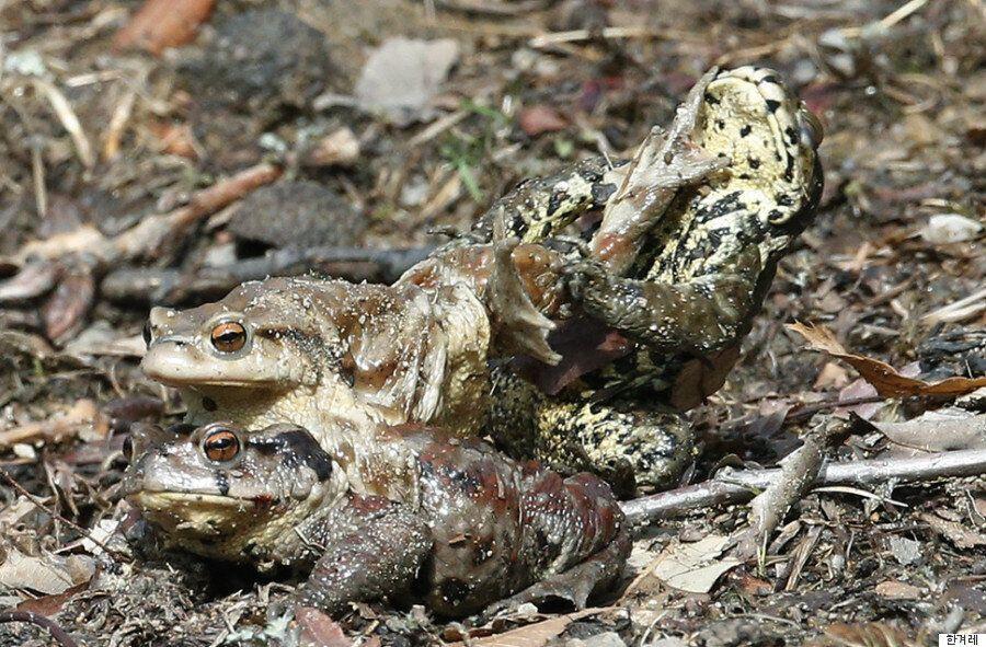 '두꺼비의 짝짓기 사진'에서 재밌는 한 가지