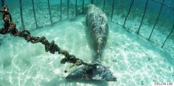 멸종위기 동물이 사슬에 묶인 채 바닷속에 감금돼 있었다(사진,