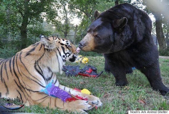 사자, 곰, 호랑이가 형제처럼 지내는 동물보호소(사진,