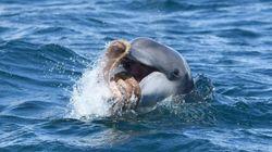문어를 갖고 노는 돌고래의 모습이 포착됐다(연속