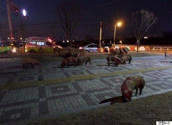 구미에서 수송차 전복으로 돼지 30마리가 도로를