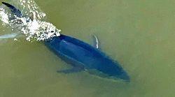 「黒い大きなものが」青森の川にクロマグロ?ツイッターで話題