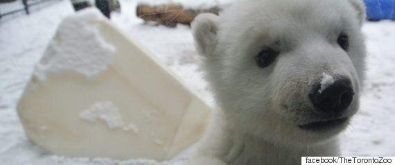 난생처음 눈을 만져봤던 새끼 북극곰의