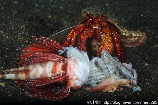 [바다생물 이야기] '게의 왕'은 게가 아니었다.