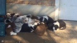 18마리의 강아지가 낮잠자는 풍경(사진,