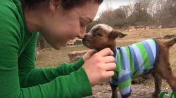 아기 염소의 첫 외출이 귀여움의 한계를