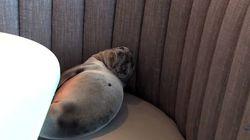 레스토랑에 갔더니 바다사자가 밤새 기다리고