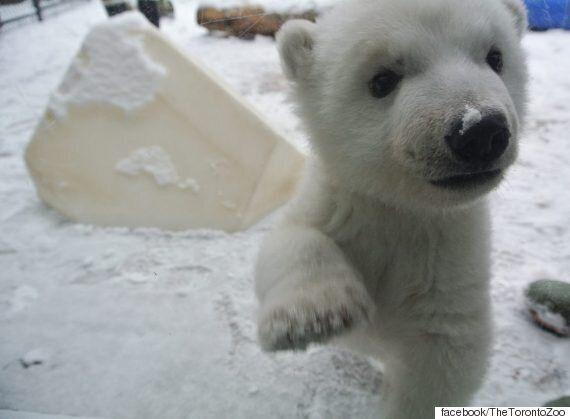 난생 처음 눈을 만져본 새끼 북극곰의