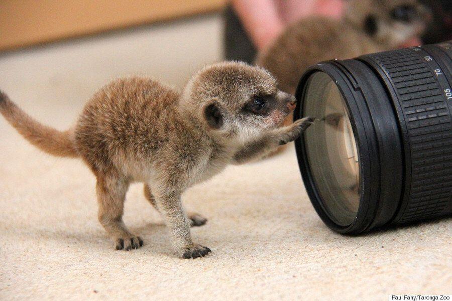 이 세상의 동물이라고 생각할 수 없을 만큼 귀여운 미어캣 새끼가 태어났다(화보,