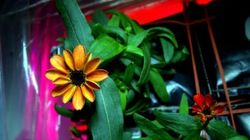 우주에서 처음 피운 꽃, '지구 밖 개화' 첫 성공 (사진