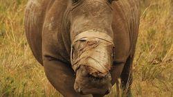 뿔과 얼굴을 잃은 코뿔소에게 희망이 싹트고