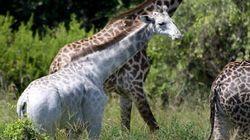 지구에서 가장 희귀한 기린이