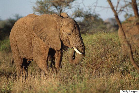 야후 재팬이 '코끼리 상아'를 팔고