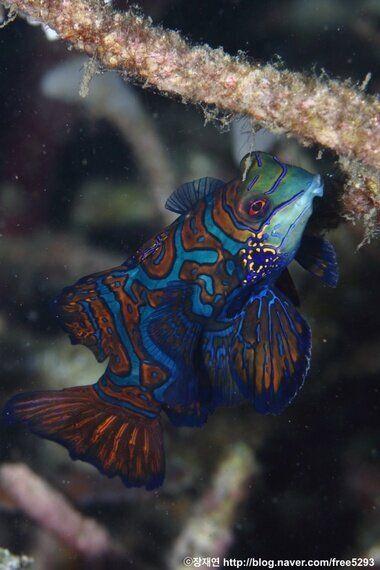 바다세계에서 가장 특별하고 아름다운 19금 장면 | 만다린피쉬