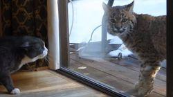 집고양이와 스라소니가 만났고, 고양이는