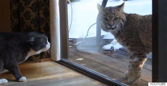 집고양이와 스라소니가 만났고, 고양이는 화가
