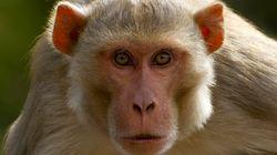 중국 의료진, 원숭이 머리 이식 성공