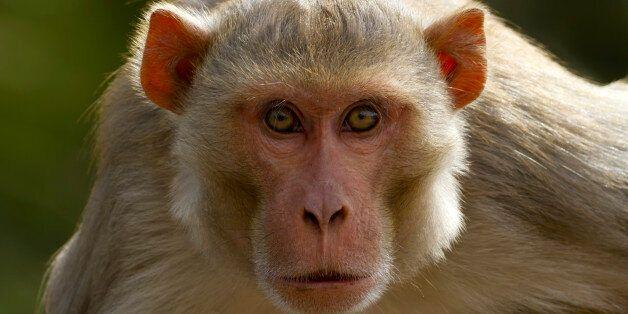 중국 의료진이 원숭이 머리 이식수술에 성공했다고