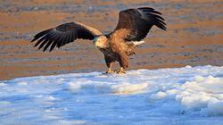 하천이 얼어붙어 먹이를 찾지 못하는 흰꼬리수리(사진