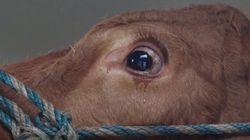 차에 실려 눈물 흘리던 소가 도착한