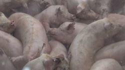구제역으로 670마리의 돼지가 살처분되고
