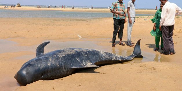People look at one among the dozens of whales that have washed ashore on the Bay of Bengal coast's Manapad...