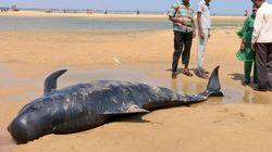 인도 해변에 갑자기 고래 100여 마리가 떠내려와 최소 45마리가 집단