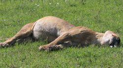 아프리카의 사자들이 독살당하고