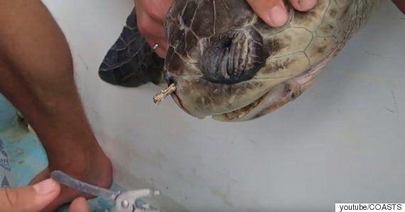 콧구멍에 플라스틱이 박힌 거북이가 4개월 만에 또 다시 발견됐다(사진,