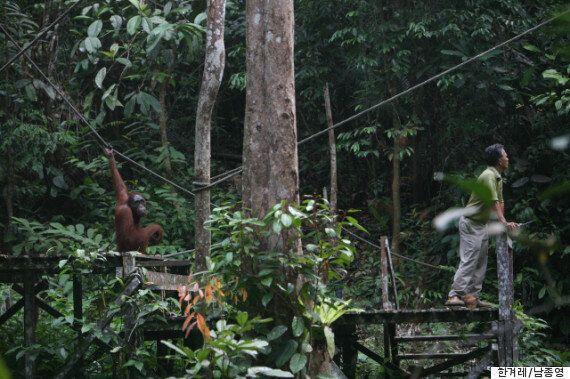 [오랑우탄 거울실험 프로젝트]오랑우탄, 고릴라, 침팬지, 보노보는 서로